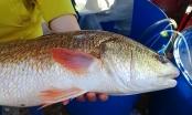 Thừa Thiên Huế:  Mua được cá lớn có vảy vàng, nghi cá sủ vàng quý hiếm