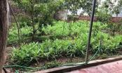 Bắc Giang: Vì sao chưa khởi tố vụ việc trồng hơn 700 cây thuốc phiện tại nhà nghỉ Phúc Lâm