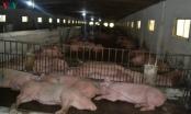 Nhập lợn thịt, giá lợn hơi vẫn neo mức cao
