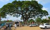 Những cây cổ thụ trăm tuổi ở Sóc Trăng