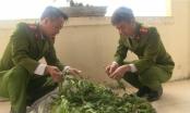 Thái Bình: Phát hiện hơn 100 cây thuốc phiện được gieo trồng trong vườn nhà