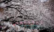 Sắc hoa anh đào nhuộm hồng Nhật Bản