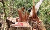 Vụ phá rừng lim cổ thụ ở Quảng Nam: Bắt 2 cán bộ bảo vệ rừng