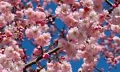 Chiêm ngưỡng sắc hoa anh đào đẹp hút hồn từ Tokyo tới Mỹ