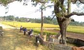 Giải mã chuyện cây gạo bị ma ám ở Phú Thọ