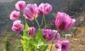 Kỳ 1: Xuân sớm Hồng Ngài