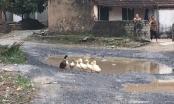 Hà Nam: Vịt bơi... trên đường Tỉnh lộ hơn 1 thập kỷ