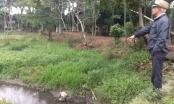 Hà Nội: Hàng nghìn con lợn hành dân trong nhiều năm