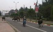 Nghệ An: Trâu nhà nghênh ngang giữa phố biển Cửa Lò