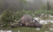 Gần 250 con trâu, bò chết vì giá lạnh ở Nghệ An
