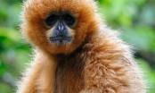 Bộ ảnh độc của chàng trai 5 năm sống trong rừng với khỉ, voọc.