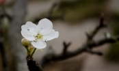 Mãn nhãn ngắm hoa lê Tây Bắc nở giữa lòng Hà Nội