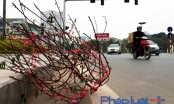 Sau Tết, xác hoa đào ngập tràn đường phố