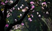 Say trước vẻ đẹp của hoa Ban Tây Bắc giữa lòng Hà Nội