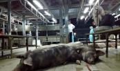 Bơm nước bẩn 623 con heo để xẻ thịt bán tại Sài Gòn