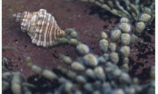 Phát hiện chất diệt ung thư cực mạnh từ loài sên biển
