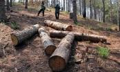 Phó Thủ tướng yêu cầu kiểm điểm đơn vị để xảy ra khai thác gỗ trái phép tại Lâm Đồng