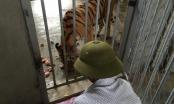 """Vụ vợ """"trùm"""" buôn bán hổ được cấp phép nuôi hổ: Thêm 9 cá thể hổ được nhập về từ Séc và Bỉ"""