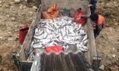 Chưa có con số cụ thể cá hồi chết bất thường ở Sa Pa
