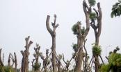 Những cây xà cừ cổ thụ sau khi bị di dời hiện sống hay chết?