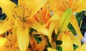 Thực hư tin đồn hoa ly gây ngộ độc