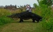 (Clip) Cá sấu khổng lồ 'đi dạo' gây sốt trên mạng xã hội Mỹ