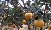 Bắc Giang: Đổi đời nhờ trồng bưởi Diễn