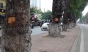 Hà Nội: Kỳ lạ hàng chục cây xà cừ cổ thụ bị đục khoét nham nhở