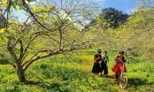 Hoa mơ Mộc Châu khoe sắc dưới nắng Xuân