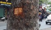 Lột vỏ xà cừ đường phố sẽ bị phạt lên tới 500 nghìn đồng