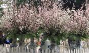 Rực rỡ sắc hoa anh đào tại Hà Nội