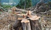 Đà Nẵng: Xót xa 40 ha rừng tự nhiên tại đèo Mũi Trâu bị triệt phá
