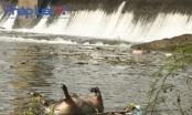 Vĩnh Phúc: Xác lợn chết vứt la liệt trên đường, trên sông Phó Đáy