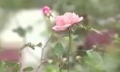 Chỉ với 150 nghìn đồng bạn đã có thể sở hữu một cây hoa hồng cổ