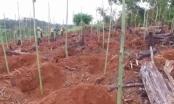 Đột nhập 'đại công trường' khai thác gỗ quý của lâm tặc ở Đắk Nông