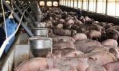 Giá lợn 'nhảy múa' và cơ hội tái cơ cấu ngành chăn nuôi