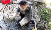 Thừa Thiên Huế: Voọc chà vá chân nâu quý hiếm chạy vào nhà dân