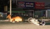 Bình Dương: Tông trúng bò thả rông trên đường, một người trọng thương
