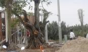"""Vụ ngang nhiên bứng cây cổ thụ của làng: Điền Phúc Thành """"nuốt"""" không trôi phải trả lại cây cho dân"""