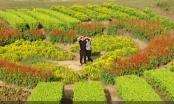 Thung lũng hoa Mộc Châu rực rỡ sắc màu, thu hút giới trẻ tới check in