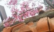 Hoa anh đào đua nhau khoe sắc trên phố núi Đà Lạt