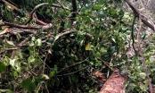 Hà Giang: Phát hiện  hơn 140m3 gỗ Nghiến bị chặt hạ tại rừng đặc dụng Phong Quang