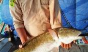 Khánh Hòa: Người dân câu được cá sủ vàng quý hiếm nặng hơn 5kg, thương lái trả giá 400 triệu đồng