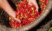 Audio Tài chính Plus: Giá cà phê thị trường nội địa giảm mạnh