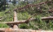 """Rừng thông ở Lâm Đồng bị phá tan hoang: Có bàn tay của """"xã hội đen"""""""