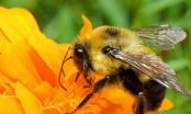 Nọc ong có thể giúp trị bệnh chàm