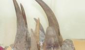 Bắt giữ số lượng lớn sừng tê giác vận chuyển từ Nam Phi về Việt Nam