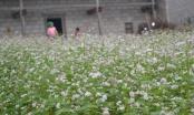 """Hà Giang: Sắp tổ chức Lễ hội hoa tam giác mạch với chủ đề """"cao nguyên đá rạng rỡ những mùa hoa"""""""