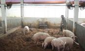 Điện Biên: Xuất hiện gia súc bị lở mồm long móng