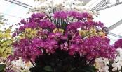 Mãn nhãn ngắm hoa Lan Hồ Điệp khoe sắc ngày cận tết